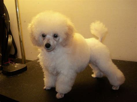 toy poodle haircuts pictures 25 best ideas about toy poodle size on pinterest