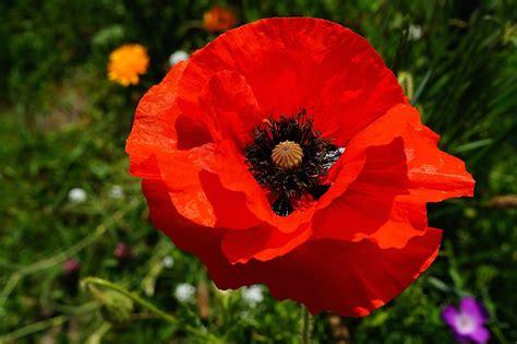papavero fiore foto gratis fiore papavero rosso colorato immagine