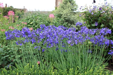 agapanthus the pride of africa the frustrated gardener