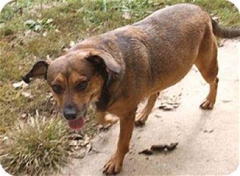german shepherd dachshund mix puppies cinderella adopted georgetown ky dachshund german shepherd mix