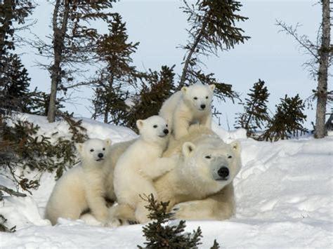 polar ursus maritimus with triplets wapusk national park churchill manitoba