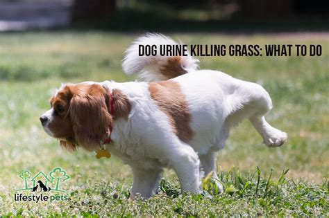 what to do when dogs pee in the house dog urine killing grass what to do lifestyle pets all for paws