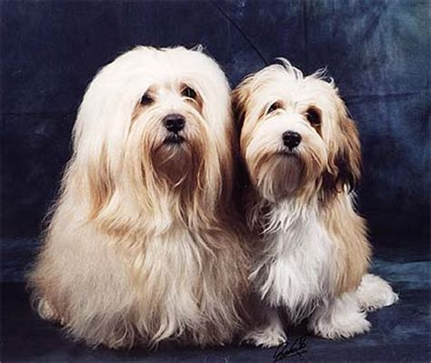 havanese org 1000 images about havanese on havanese puppies havanese dogs and