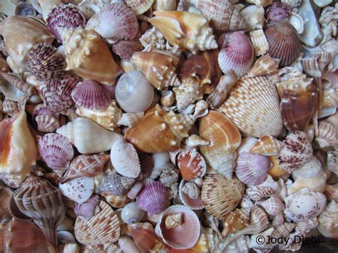 best beaches for seashells top ten florida beaches for seashells 171 treasures