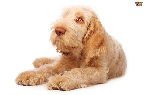 italian spinone puppies italian spinone hereditary health and longevity pets4homes