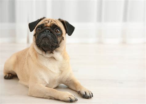 pug leg problems pug breed information characteristics heath problems dogzone