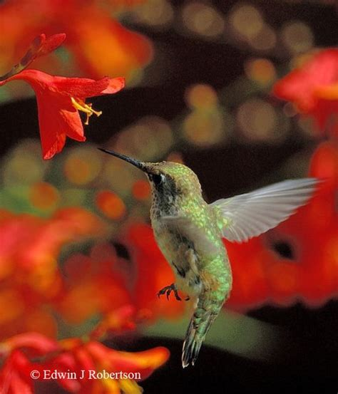 a list of natural nectar plants for hummingbirds photo