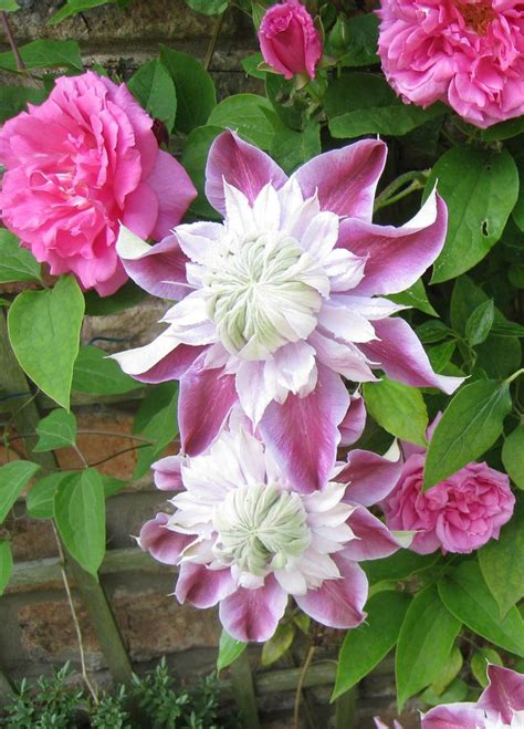 climbing plants for clay soil 25 best ideas about clematis on clematis vine