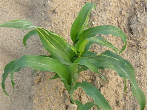 corn plant diseases stewart s wilt sweet corn ontario cropipm