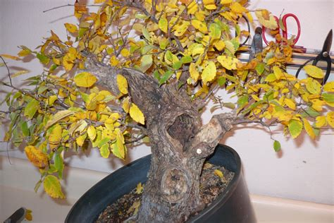care   bonsai tree    yellow bonsai