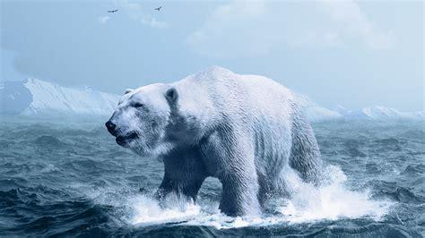 wallpaper polar bear arctic white bear ocean hd
