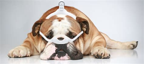 can dogs sleep apnea cpap facts easy breathe