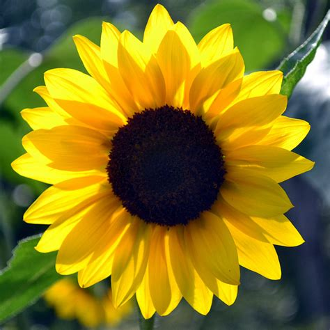 kansas sunflower kansas state nickname the sunflower state