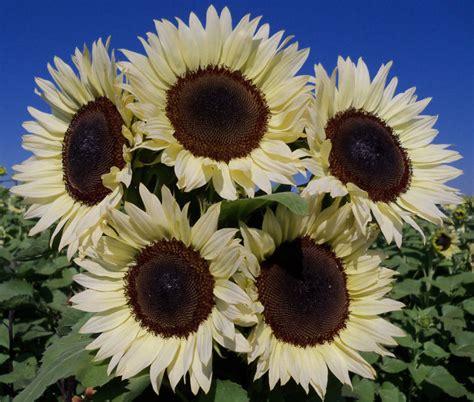 gardening hybrid technology leads   sunflower