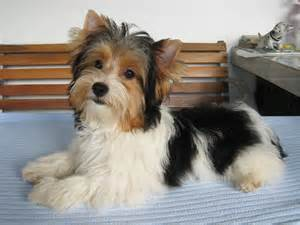 biewers yorkies biewer yorkie terrier biewer terrier yorkies and