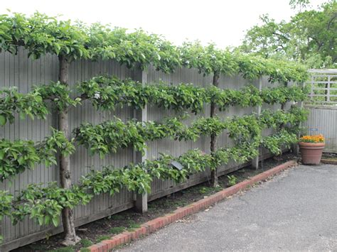 image gallery espalier fruit