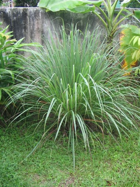 is lemongrass safe for dogs how to keep dogs your yard