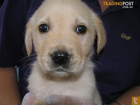 golden retriever and lab puppies golden retriever x labrador puppies at puppy shack brisbane o7 33566319 for sale in