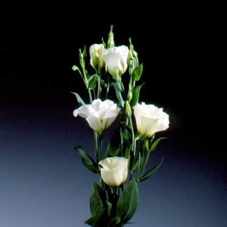 lisianthus kyoto pure white eustoma cut flowers sunflora