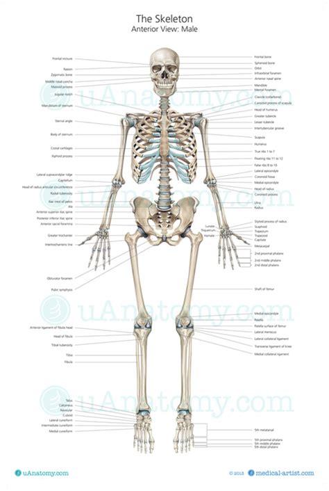 skeleton anatomy human skeleton anatomy chart human anatomy poster skeleton