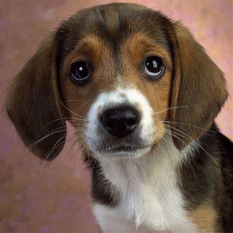 dog  world beagle dogs