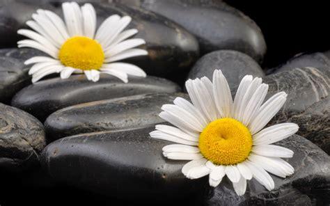 Bilder Mit Steinen Und Blumen by Zen Meditation Pictures 1080p Hd Widescreen