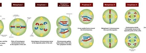 New steps in the meiosis chromosome dance Meiosis Stages