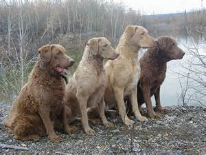chesapeake bay retriever colors chesapeake bay retrievers dogs