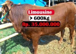 Jual Bibit Sapi Perah Jantan tempat jual sapi perah jual harga sapi qurban domba qurban