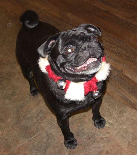 pug a lug dogs dressed up photos talent hounds
