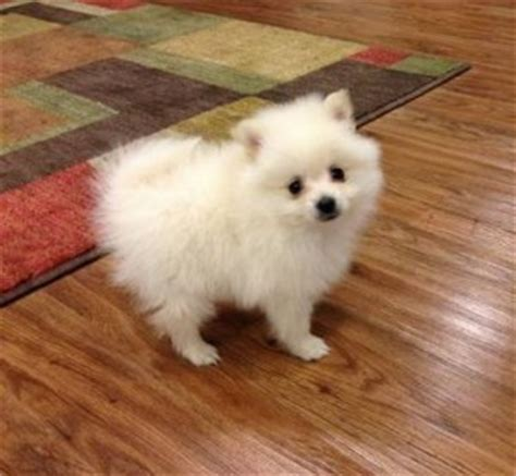 teacup pomeranian for sale in nc pets jacksonville nc free classified ads