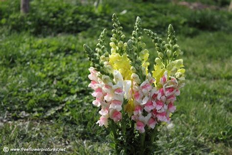snapdragon flower picture flower pictures 6156