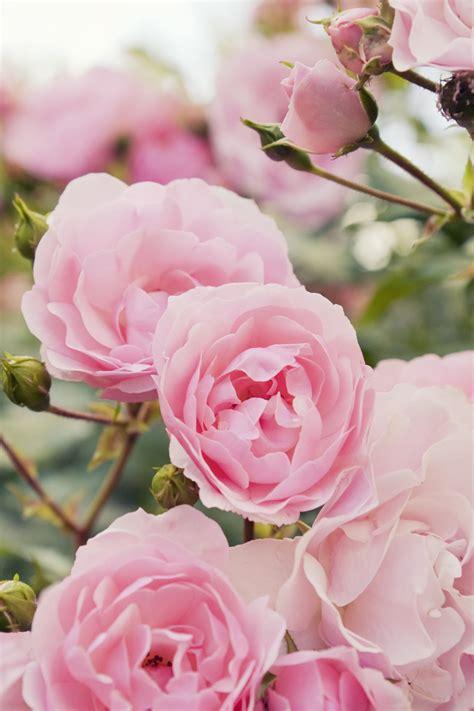 prune rose bushes  bet  didnt