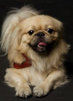 can yorkies eat bananas 17 best images about pekingese breed on shedding care and losing