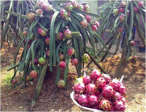 Bibit Buah Naga Yogyakarta harga jual bibit buah naga merah murah samudrabibit