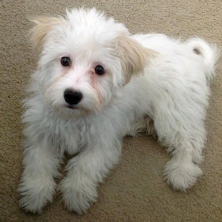 how much is a maltese shih tzu puppy best 25 shih tzu maltese mix ideas on maltese shih tzu shih tzu mix and