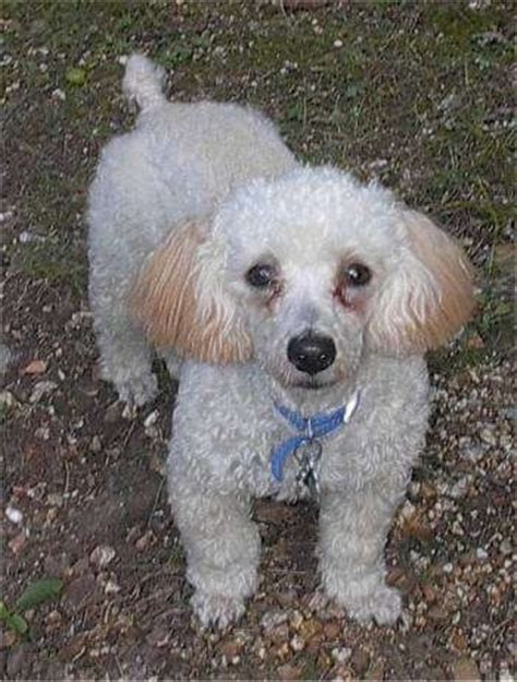 mini poodle information miniature poodle breed pictures 1