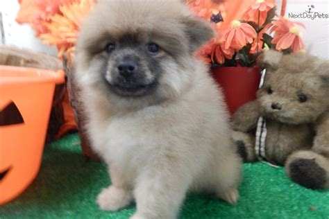 pomeranian puppies for sale chicago pomeranian baby pomeranian puppy for sale near chicago illinois 5287c610 49e1
