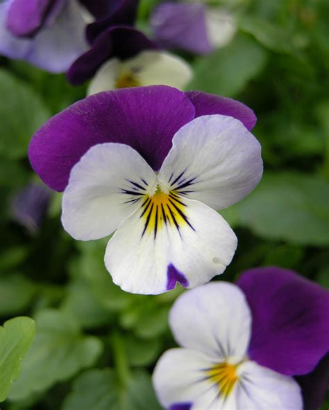 file pansy viola tricolor flower 2448px jpg wikipedia