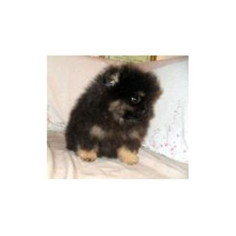 pomeranian breeders in northern california pomeranian breeders in california freedoglistings
