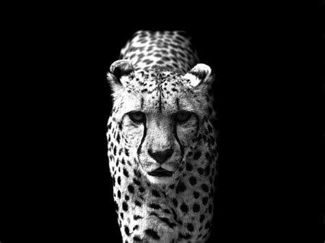 black and white animals cool black and white animal pictures amazing wallpapers