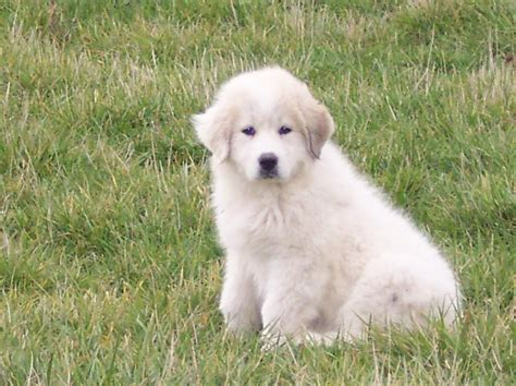 great pyrenees puppy facts about a puppy dajfkkld fkdk fjal kdfj kdajf ajdf thinglink