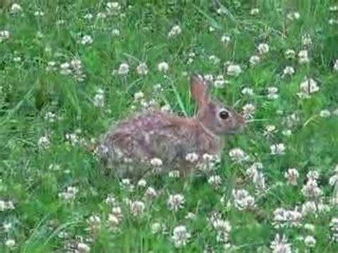 bunny in my backyard bunny rabbit in my backyard eating clover youtube