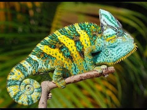 chameleon care sheet owning a chameleon chameleon as pet custom chameleon cages youtube