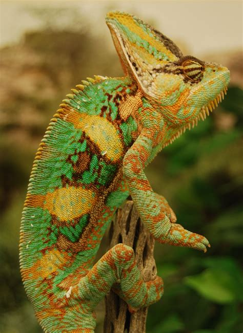 veiled chameleon colors study shows chameleons fighting prowess to color