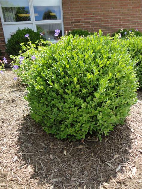 shrubs evergreen