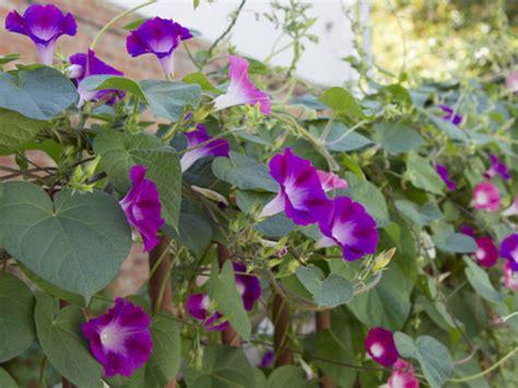 piante fiorite da giardino piante da giardino fiorite trendy piante ricanti