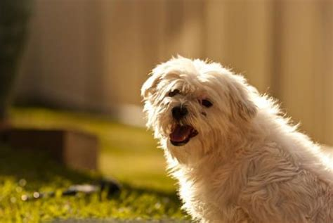 maltese don t 17 best images about dogs low shedding small dogs on small breed dogs