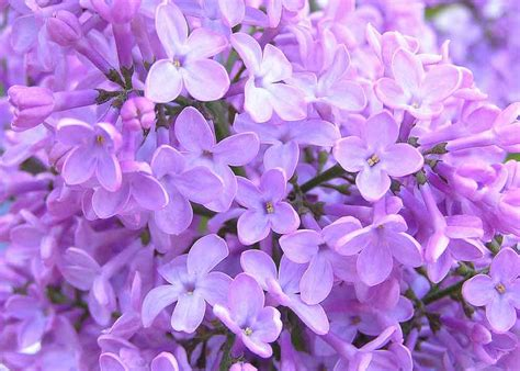 imagenes de rosas lilas im 225 genes de flores y plantas lilas