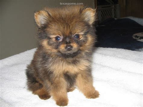 pomeranian puppies for sale in tennessee puppies for sale in tx breeder